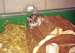 Hamster auf drei Pfoten